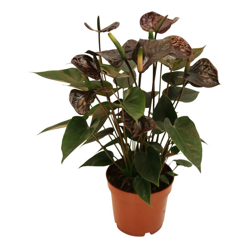 Flamingoblume, (Anthurium), Sorte: Black Love, im 12cm Topf