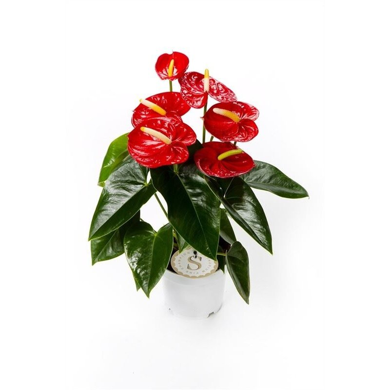 Flamingoblume, (Anthurium), Sorte: Red Champion, im 12cm Topf