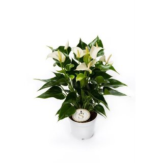 Flamingoblume, (Anthurium), Sorte: White Champion, im...